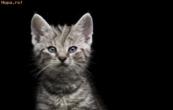 Animale - Pisica frezata