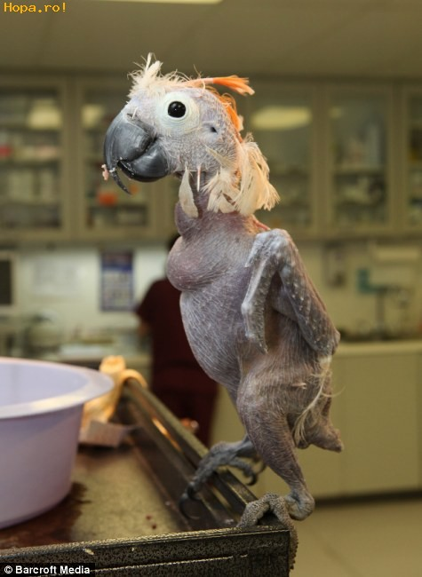 Animale - Papagalul fara pene