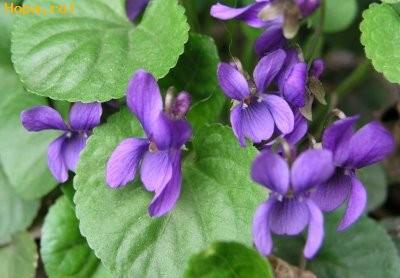 Flori - Toporasi