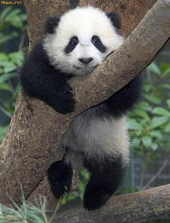 Animale - Urs Panda