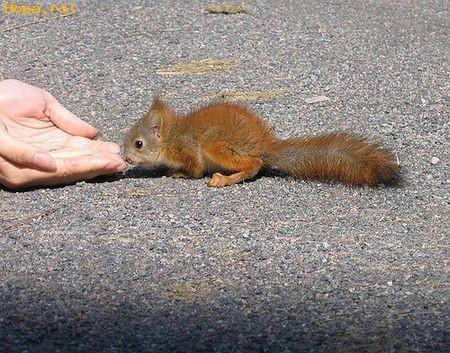 Animale - Veverita flamanda