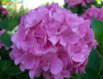Flori - Hortensia