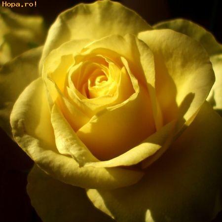 60. Gönülçelen -Inima furata - Heart Stealer - General Discussions - Comentarii - Pagina 20 Trandafir_galben_1240393500