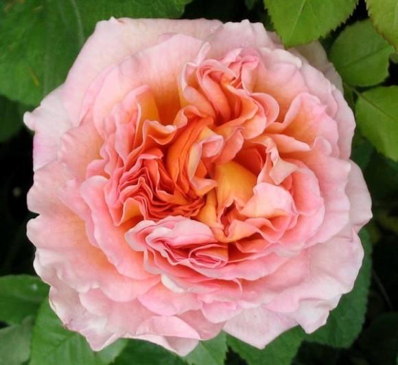 Flori - Trandafir