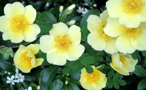 Flori - Trandafir canar