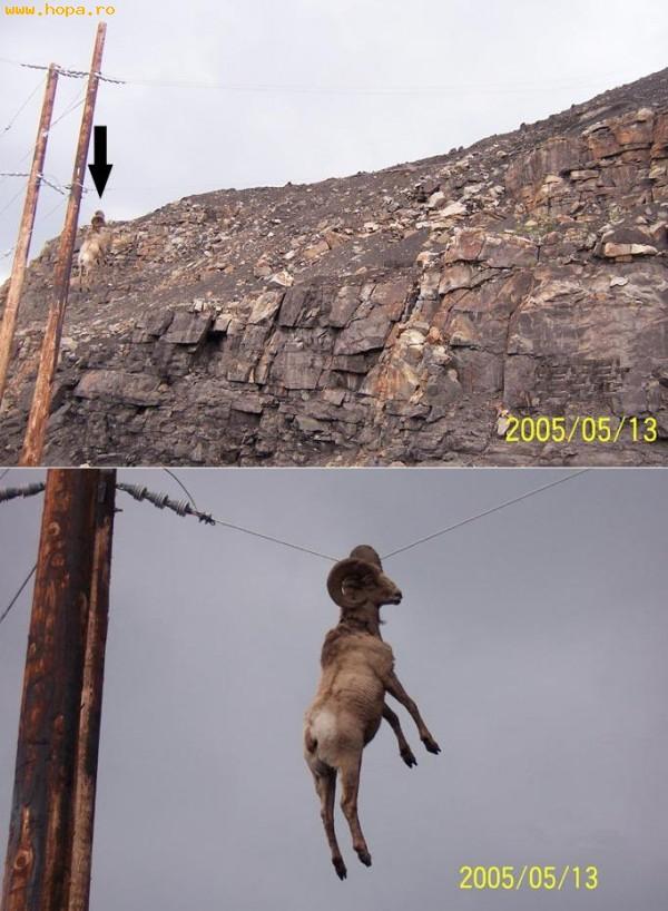 Animale - Ce berbec