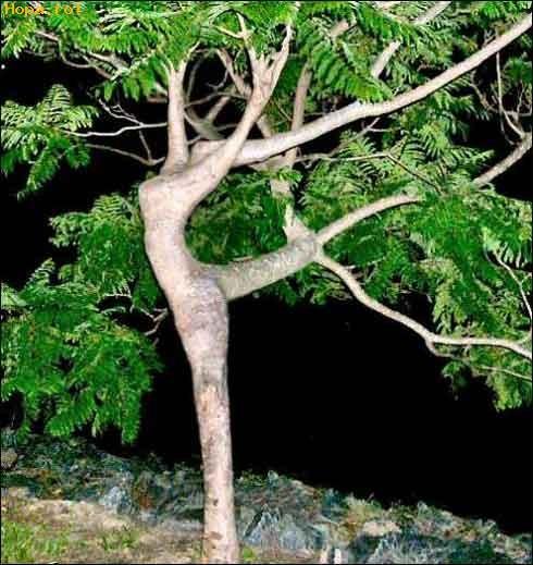 Diverse - Copac Balerin