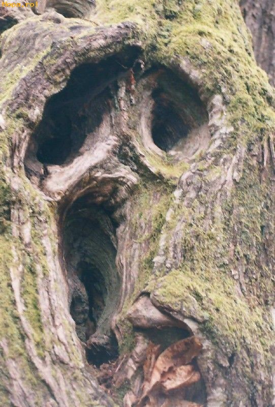 Ciudate - Copac sau fantoma?