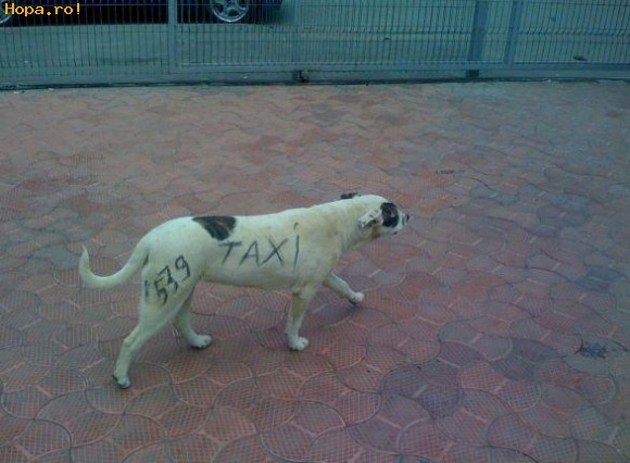 Animale - Taxi