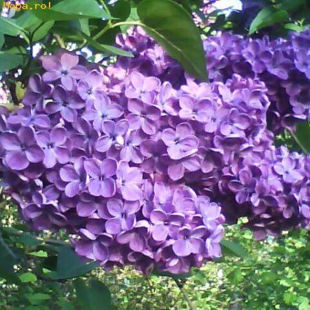 Flori - Liliac