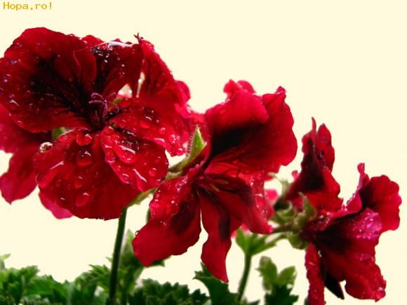 muscata floare
