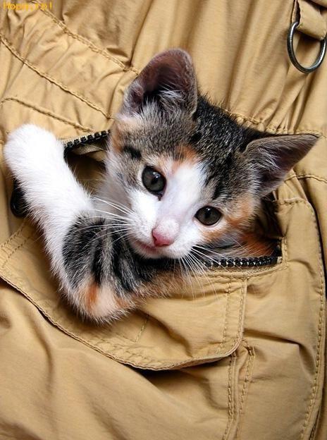 Animale - Pisica de buzunar