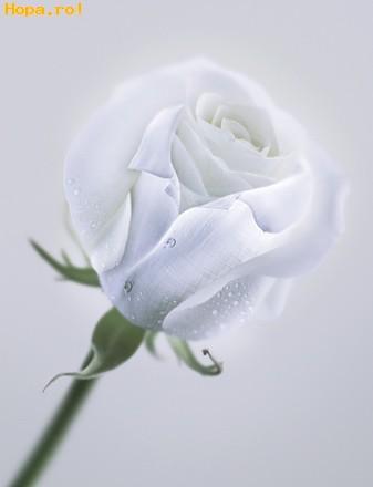 Flori - Trandafirul Regal