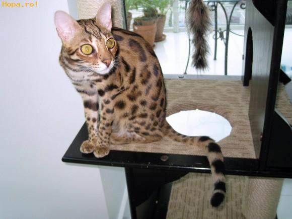 Animale - Ras- Pisica