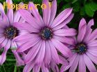 Avatare - Floricele de primavara