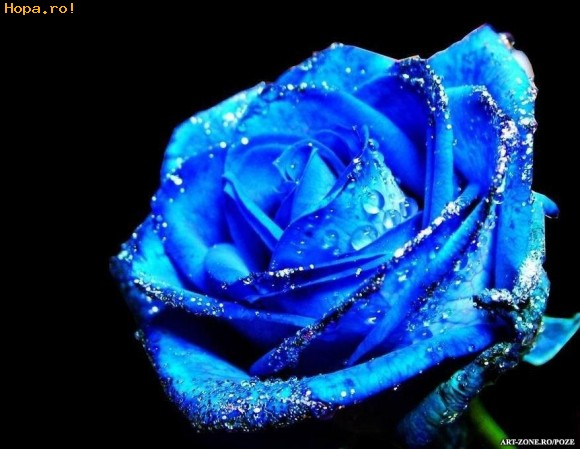 57. Gönülçelen -Inima furata - Heart Stealer - General Discussions - Comentarii - Pagina 6 Trandafir_albastru_1_1240392964