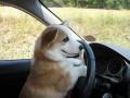 Animale - Cutu la agatat cu masina