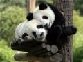 Animale - Ursuleti Panda