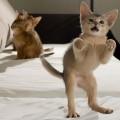 Animale - Pisica  dansatoare