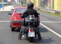 Animale - Catel pe motocicleta