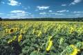 Flori - Floarea-soarelui