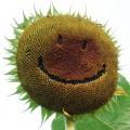Diverse - Floarea-soarelui
