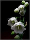 Flori - Lacramioare