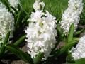 Flori - Zambila alba