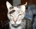 Animale - Cea mai nervoasa pisica
