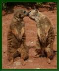 Animale - Dansul dragostei