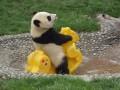Animale - Panda pe balansoar