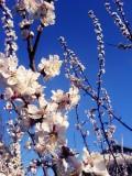 Flori - Flori de cires