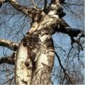 Iluzii - Iluzie copac