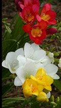 Flori - Frezii multicolore