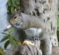 Animale - Veverita fumatoare