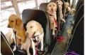 Animale - Un autocar plin cu caini