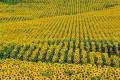 Flori - Camp de floarea-soarelui
