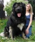 Animale - Un caine foarte mare