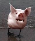 Ciudate - Porc stirb