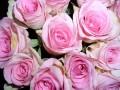 Flori - Trandafiri roz