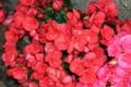 Flori - Floricele rosii