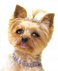 Animale - Puppy-Paris-Hilton
