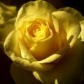 Flori - Trandafir galben
