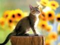 Animale - Pisica