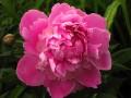 Flori - Bujor inflorit