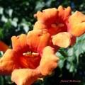 Flori - Campsis radicans