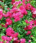 Flori - Trandafiri