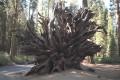 Ciudate - Copac ciudat