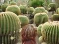 Ciudate - Seamana cu un cactus