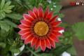 Martie - Floare gazania